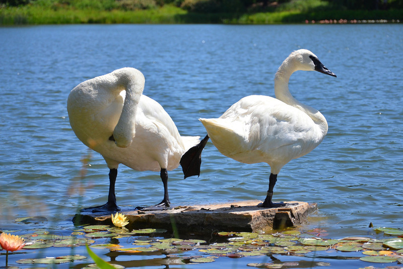 Swan Lake<br /> <br /> Daily Photos  -  July 14, 2011