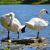Swan Lake<br /> <br /> Daily Photos  -  July 14, 2011
