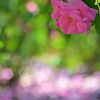 Daily Photos  -  May 22, 2012<br /> <br /> Falling petals from this rose bush created a soft pink and white blanket that seemed to dance in breeze and sunlight...