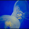 Some more jellies from the exhibit at the Shedd Aquarium...<br /> <br /> Daily Photos  -  April 2, 2012
