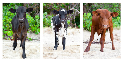 cow bvi triptych