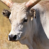 Hungarian Grey Cattle that roam the Puszta grasslands of eastern Hungary were saved from extinction