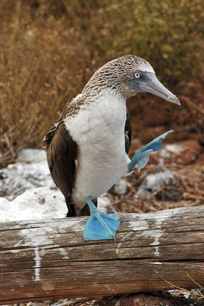 Blue-Footed Booby, Galapagos Islands of Ecuador