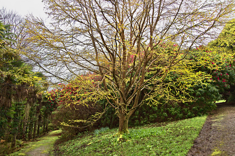 Burnt Caramel tree, named for its fragrance, bursts to life at Tregothnan Historic Gardens in Cornwall, England