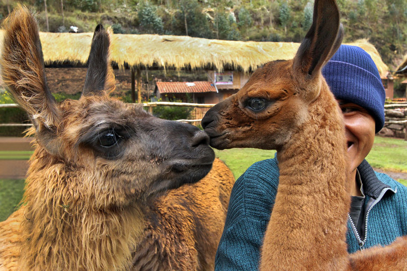 Kissing llamas at Awana Kancha Weavers in the Sacred Valley of Peru
