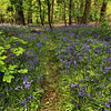 Each spring, bluebells bloom for a very short period in Priors Woods Nature Preserve in Bristol, England