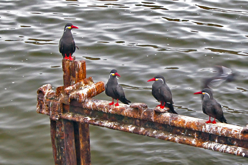 Inca Terns show off their red beaks and feet, yellow and white whiskers in Lima, Peru