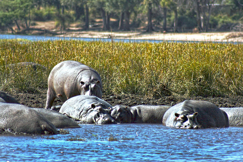 Pod of hippos lounge in river mud at Chobe Game Park, Botswana