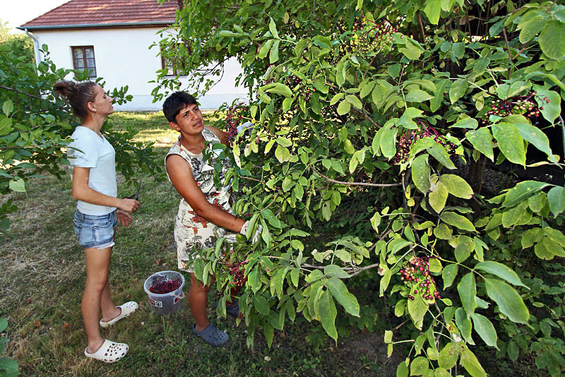 Harvesting Elderberries in Szatmar County, Hungary, which are used to make delicious drinks