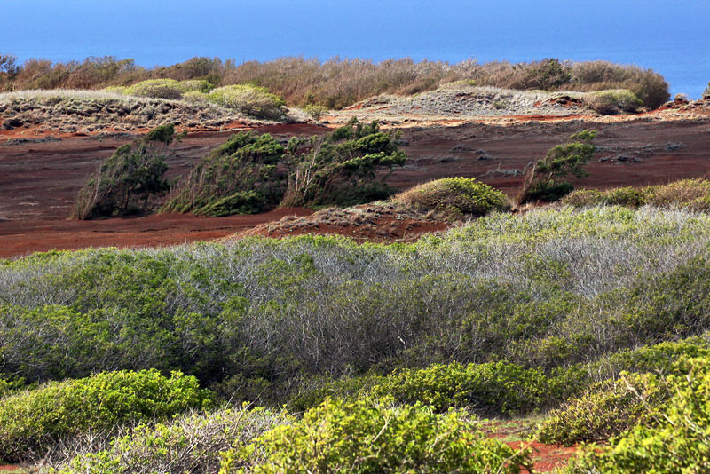 Windswept trees on the high plateau in Lana'i, Hawaii