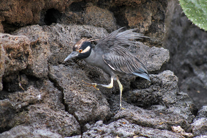 Yellow Crowned Night Heron, Galapagos Islands of Ecuador