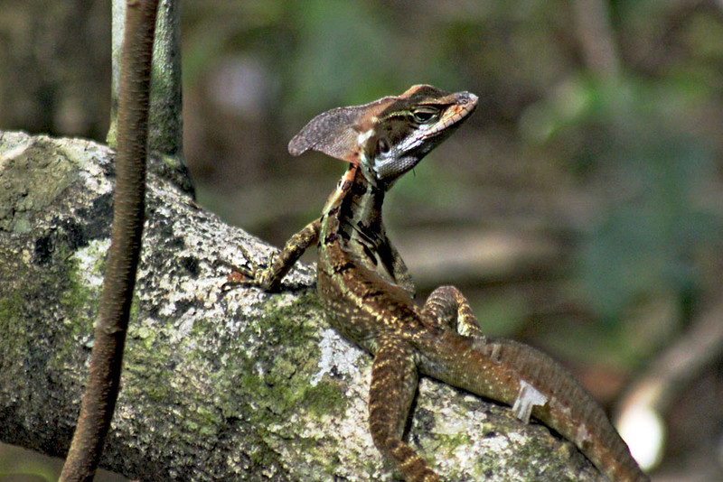 Jesus Christ Lizard in Manuel Antonio Park, Costa Rica