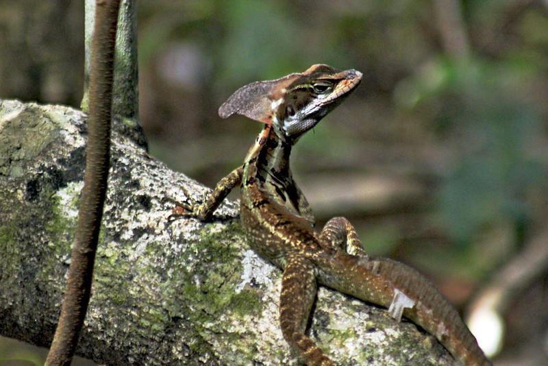 Jesus Christ Lizard in Manuel Antonio Park, Costa Rica