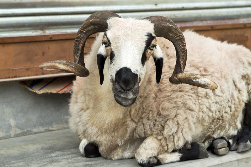 Big Horned sheepwanders at will around Tashi Palkiel Tibetan Refugee Settlement near Pokhara,Nepal