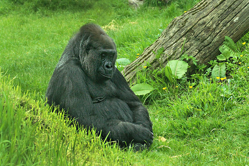 Gorilla at Durrell Wildlife Conservation Park on the British Isle of Jersey