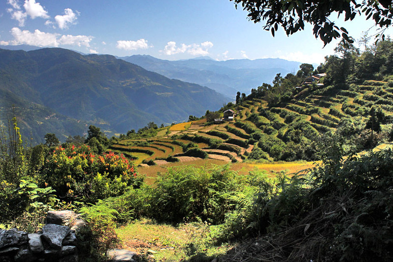Rice terraces begin to turn gold in the autumn in Pumagaon, Nepal