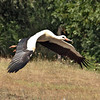 White Stork, considered a sign of good fortune, takes flight at Hortobagy National Park in eastern Hungary