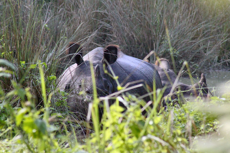 The elusive black rhino can be sometimes be spotted on foot safaris in Chitwan National Park, Nepal