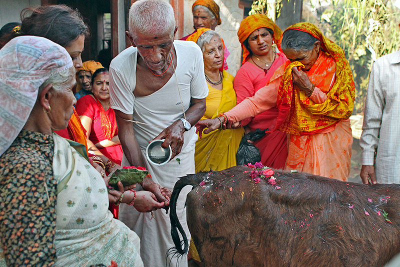 The final ceremony of a Nepali puja, where the husband of the deceased prayed over a sacred calf