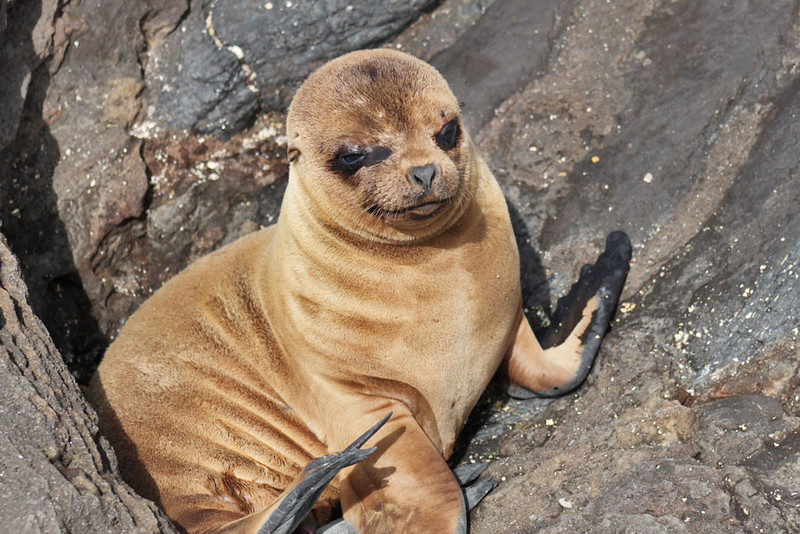 Baby Sea Lion, Galapagos Islands of Ecuador