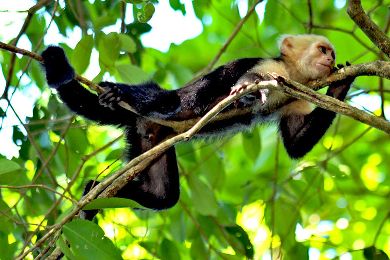 White-faced Capuchin Monkey in Manuel Antonio National Park, Costa Rica