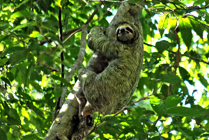 Baby sloth hangs below its mother in Manuel Antonio National Park, Costa Rica