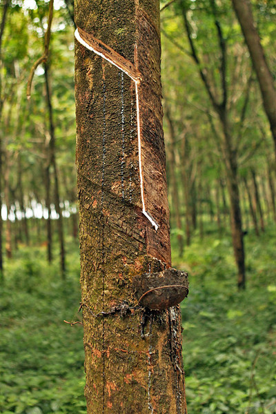 Tapping the rubber trees on Koh Mak island, Thailand