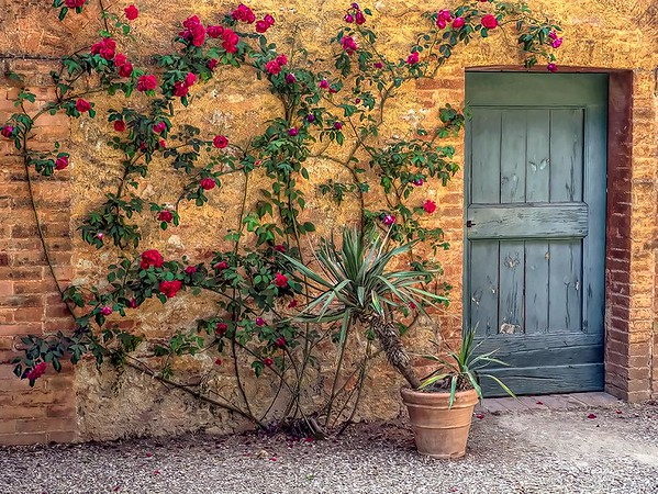 Roses climb a wall at Montestigliano, a holiday farmhouse in Tuscany that offers authentic holidays in the Italian countryside