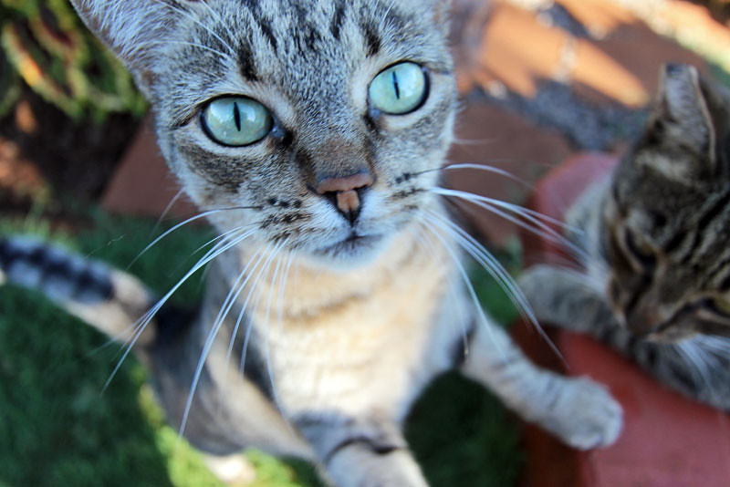 Blue eyed cat begs to be adopted at Lana'i Animal Rescue Center