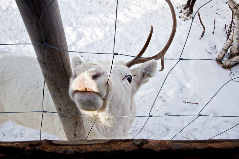 Rare white reindeer at the Snow Hotel in Kirkenes, Norway, begs for his nose to be scratched
