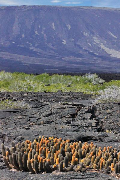 Lava Cactus Growing on Volcanic Rock, Galapagos Islands of Ecuador