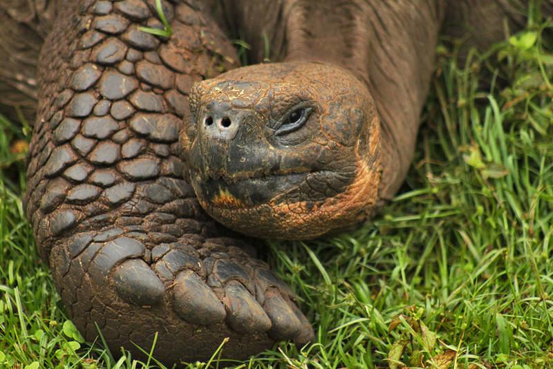 Giant Saddle-Backed Tortoise, Galapagos Islands of Ecuador