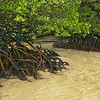 Exposed mangrove roots at low tide at Cape Tribulation, Austalia