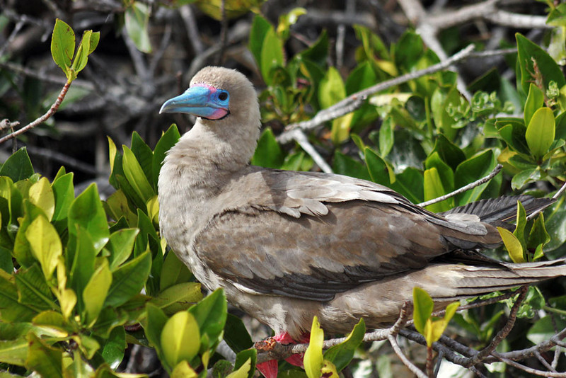 Red-Footed Booby, Galapagos Islands of Ecuador