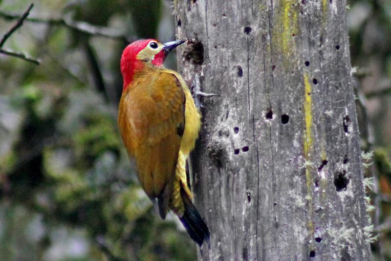 Golden Olive Woodpecker at Inkaterra Machu Picchu Pueblo Hotel