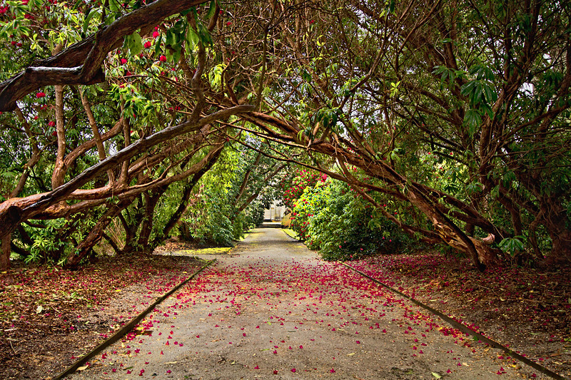 Path through blooming Rhododendron Tunnel at Tregothnan Historic Gardens in Cornwall, England