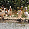 Endangered White Pelicans at the Wildlife Park Safari in Hortobagy National Park, Hungary
