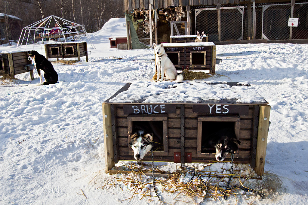 In Kirkenes, Norway, Huskies wait in kennels for their turn to pull a dogsled through the ice and snow