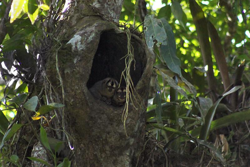 Night monkeys at Cuyabeno National Park in the Ecuadorian Amazon