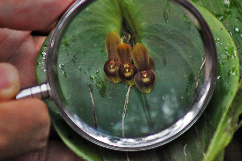 Miniature orchids at Inkaterra Machu Picchu Pueblo Hotel are so tiny they are best viewed with magnifying glass
