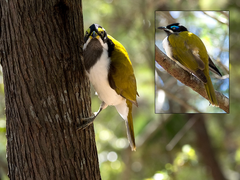 Blue-faced Honeyeaters at  Rainbow Beach. Shown at leftis the less colorful female. On the right is the male, who has the brilliant blue eyebrow that earned the species its name.