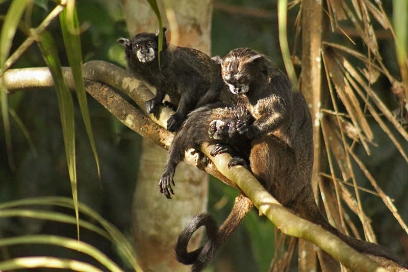 Black Tamarin Monkeys are also known as Mono Bebe Leche because of their milk whiskers