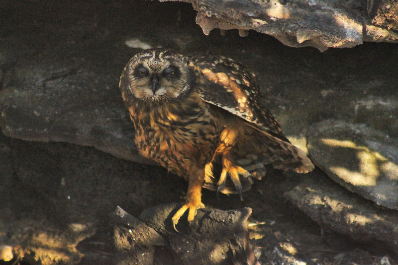 Short Eared Owl, Galapagos Islands of Ecuador