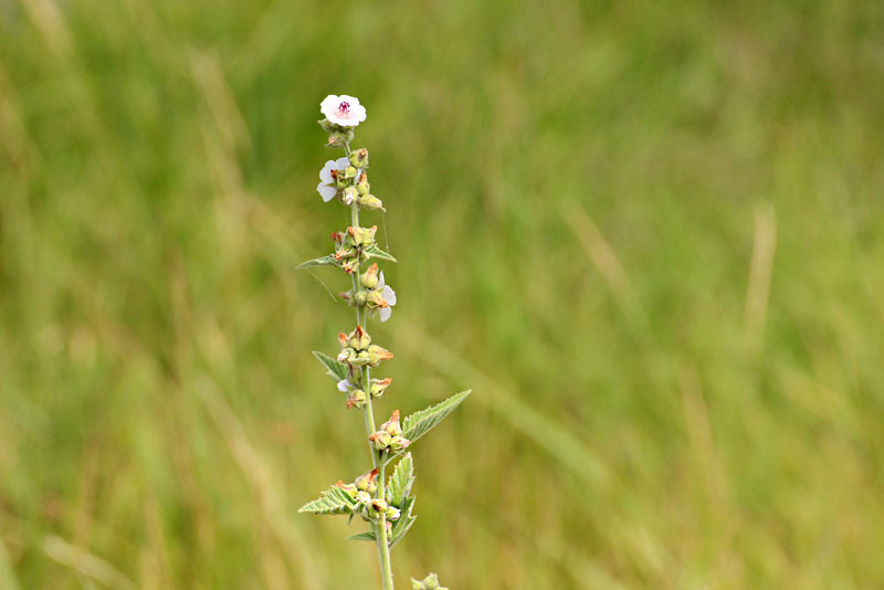 Wildflower in the marshes at Hortobagy National Park in eastern Hungary