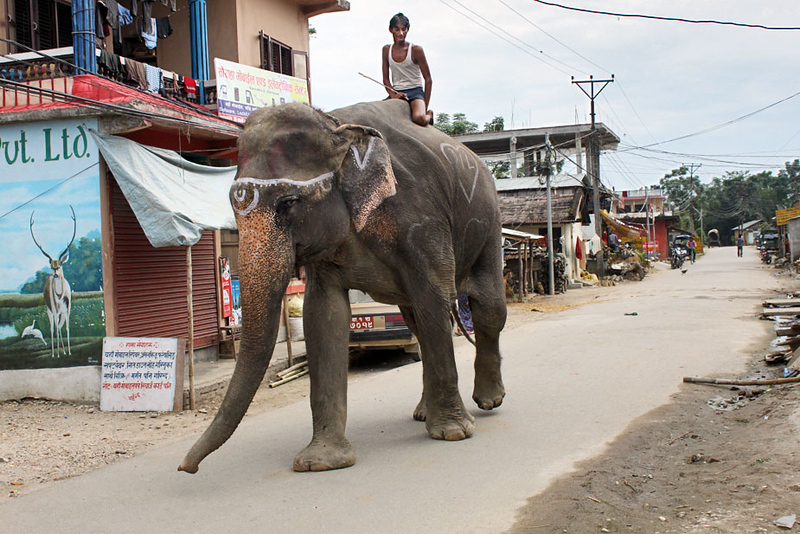 Mahout leads his elephant to river for a bath in Chitwan National Park, Nepal