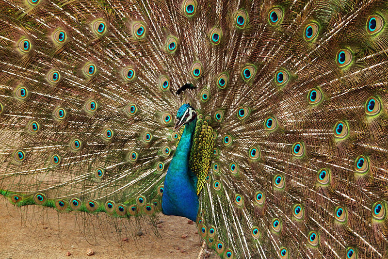 Peacock in Scotland