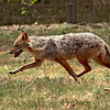 Wolves, once abundant on the great Hungarian Plain, are bred at the Hortobagy National Park Wildlife Center