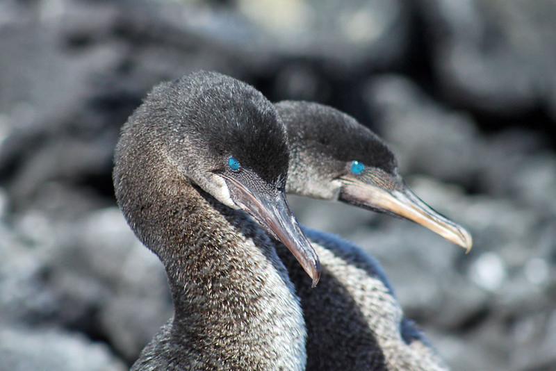 Flightless Cormorants in Courtship Pose, Galapagos Islands of Ecuador