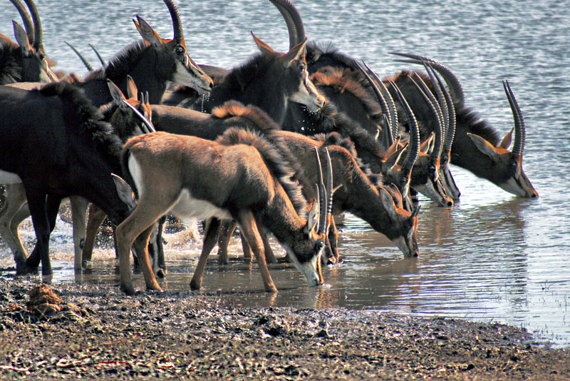 Black Antelope come down to the river for a drink at Chobe Game Park in Botswana