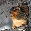 Squirrel enjoys a winter snack at Morton Arboretum in Lisle, a suburb of Chicago, Illinois